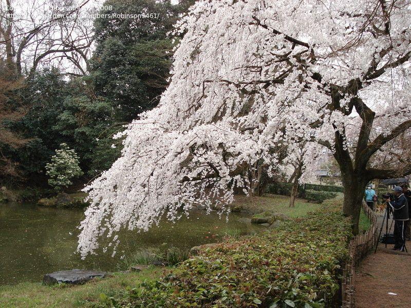 Related Image Flowering Trees Tokyo Cherry Yoshino Cherry