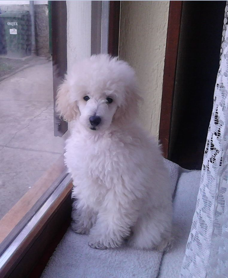 White poodle Amos Polo when he was a puppy