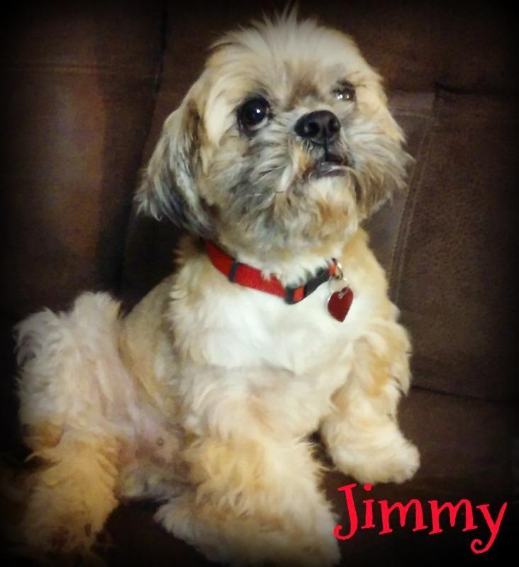 Adopt Jimmy On Shih Tzu Dogs Shih Tzu Dog