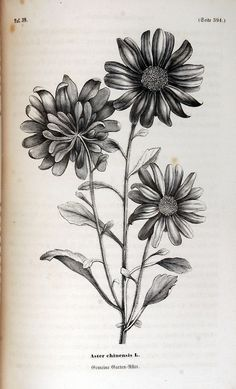 06c97c606 Aster chinensis (1858). | Creation, Inspiration & Design | Birth ...