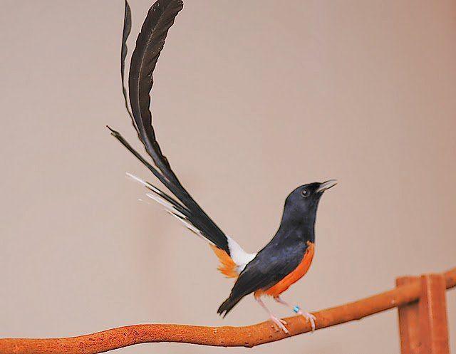 Beautiful Bird Atikel Seputar Hobby Yang Membahas Tentang Ciri Ciri Dan Gambar Foto Burung Murai Batu Medan Yang Mempesona Burung Burung Cantik Gambar