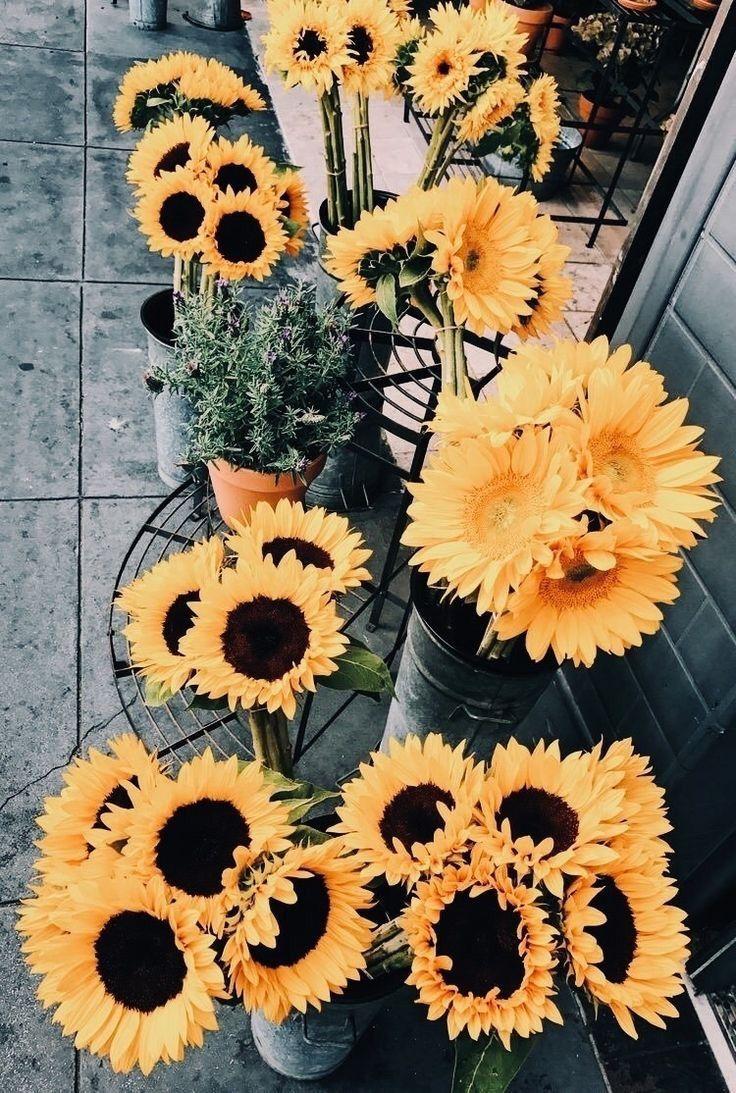 Sunflower Flower Pretty Love Life Lifestyle Flowers Flowersgarden Flowershop Flowersphotography Flower Wallpaper Sunflower Wallpaper Flower Aesthetic