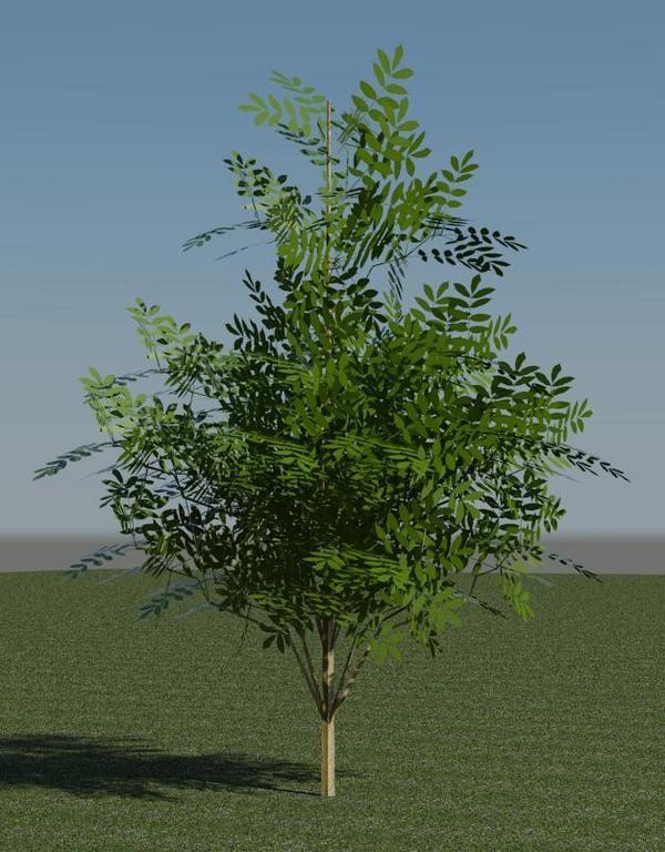 3D дерево - акация