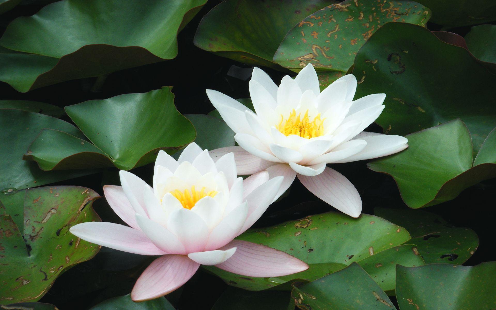 White Lotus Flower Wallpapers HD Wallpaper Black White