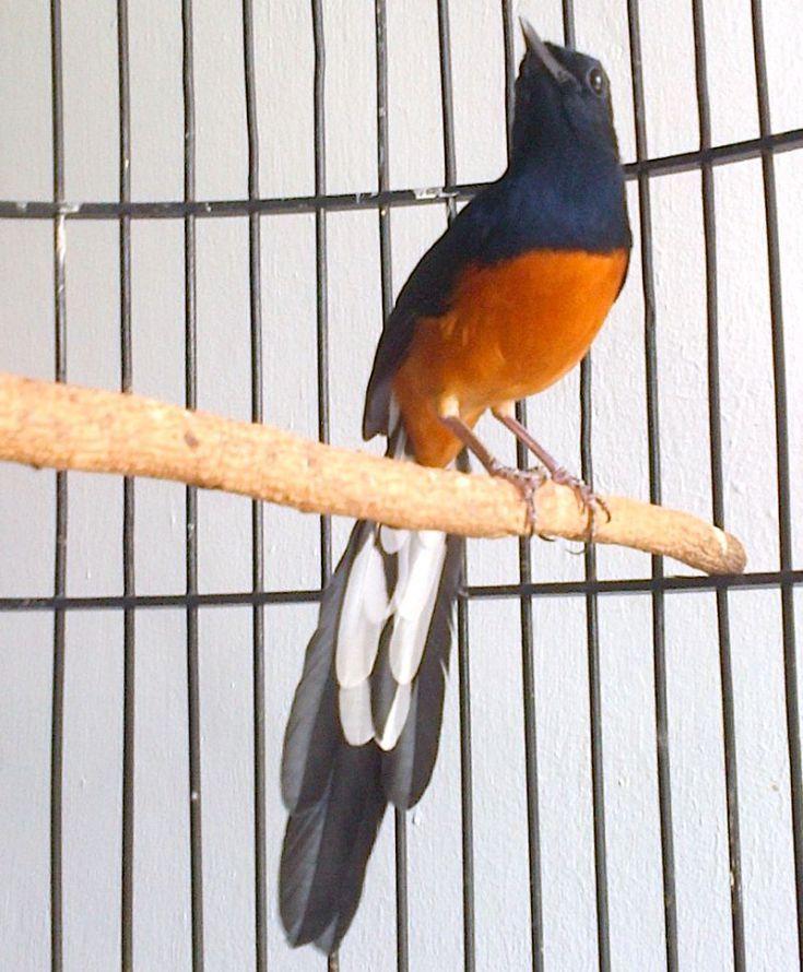 16 Jenis Burung Murai Batu Terpopuler di Indonesia dan Mancanegara - Burungnya.com |  Burung, Murai, Batu