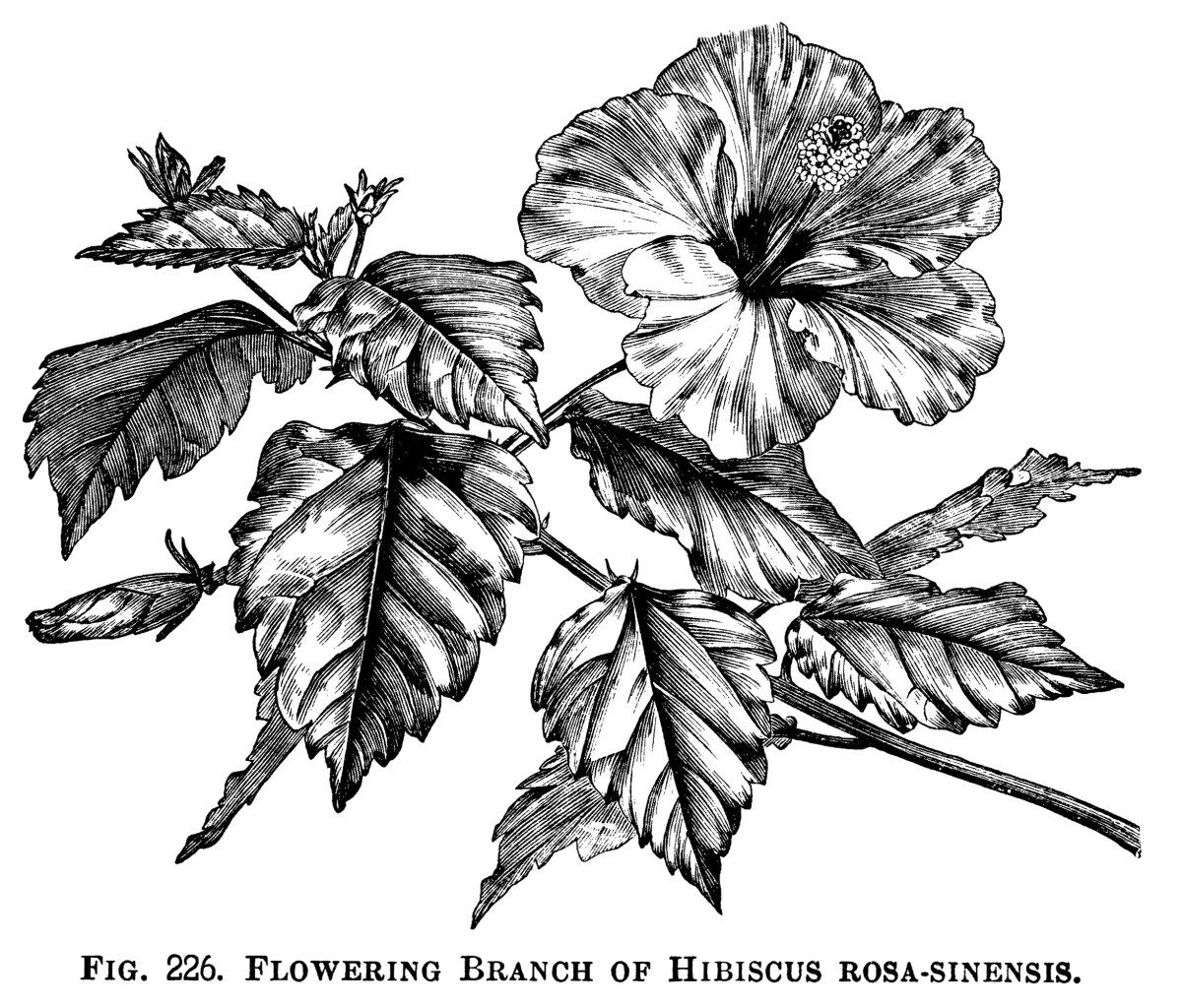 Here is a beautiful flowering branch of hibiscus rosa sinensis plus here is a beautiful flowering branch of hibiscus rosa sinensis plus a black and white clip art version the engraving is from the illustrated dictionary of izmirmasajfo