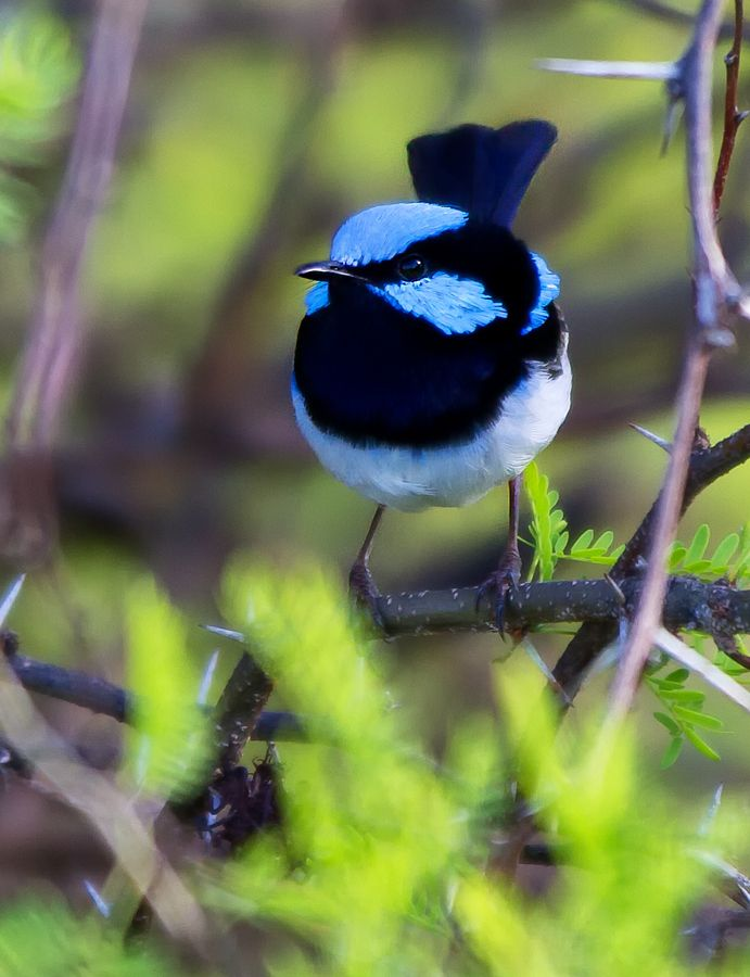Superb Blue Fairy-wren by Jamie Condon, via 500px