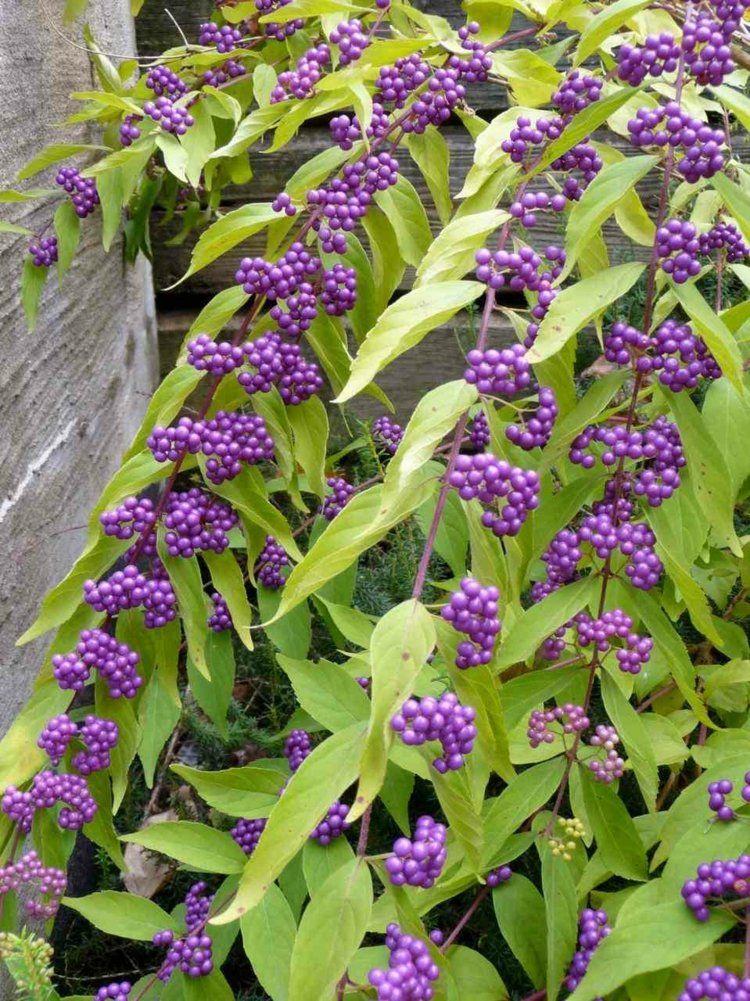 Haus Garten Gartengestaltung Mit Beeren Zierstraucher Fur Farbakzente Beeren Farbakzente Garten Garte Pflanzen Winterharte Pflanzen Gartengestaltung
