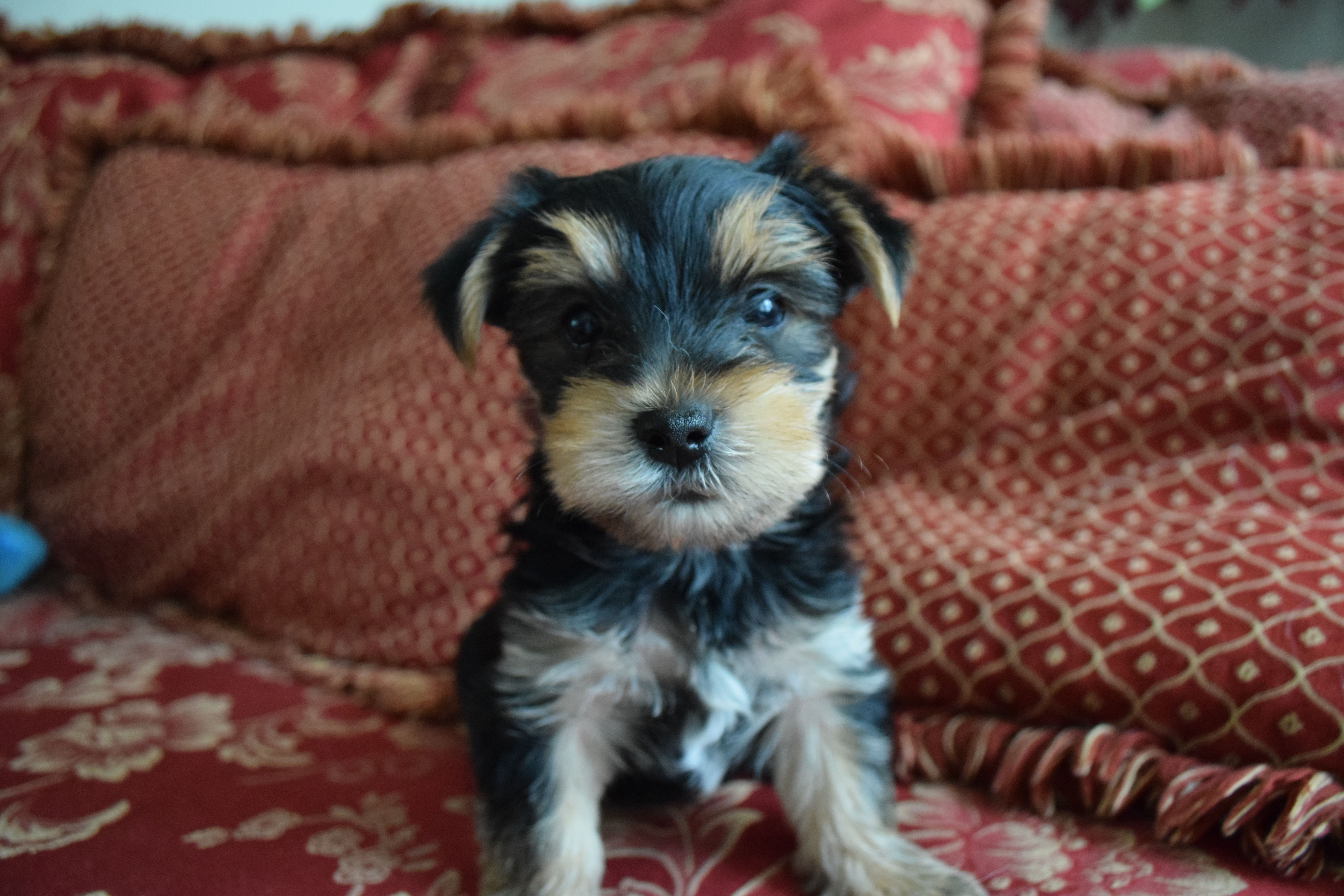 6 week old puppy patch sold check out www