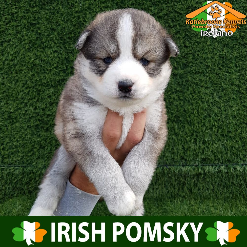 Katiebrooke Kennels Pomsky Specialists Ireland Price 2500 F1 Pomsky Puppy Serenity Blue Eyes X Female X Brown Black And White Pomsky Puppies Puppies Pomsky