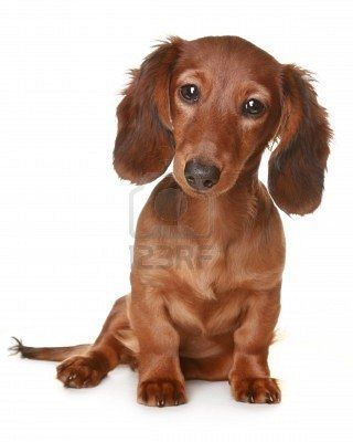 Brown Long Haired Dachsund Click Here To Find Out More Http Googydog Com Long Haired Dachshund