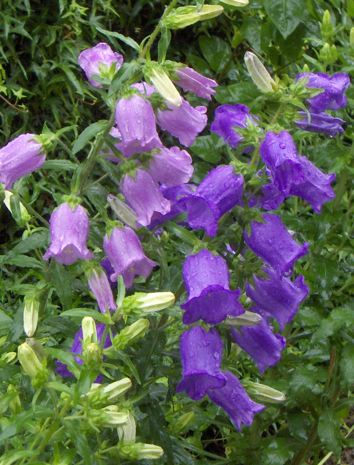Bell Flowers Campanula Great Perennial That Can Be Purple White