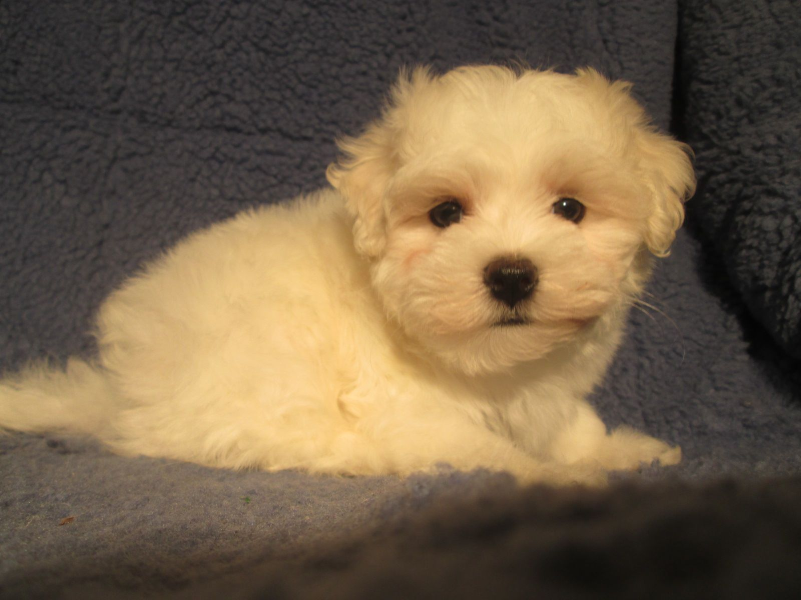 Handsome Maltese Puppies Available 8 12 Weeks Of Age Permanent Shots And Wormings Completed Along With Microchi Puppies Maltese Puppy Puppies For Sale