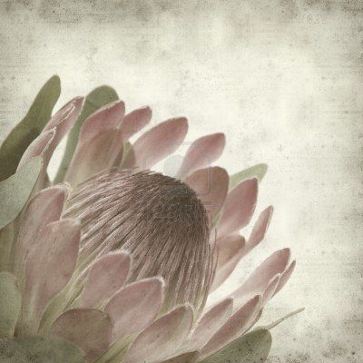 Stock Photo Protea Art Old Paper Background Protea Flower