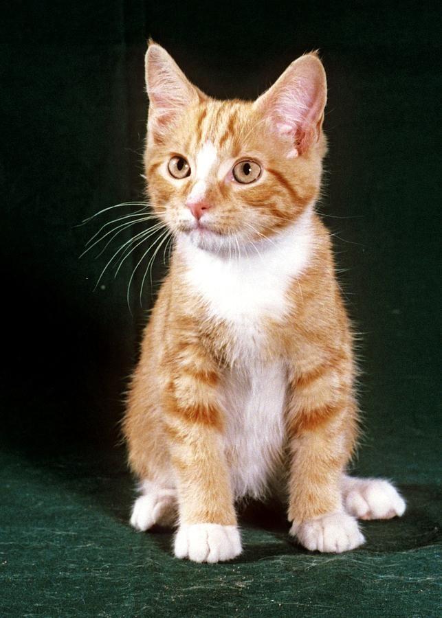 Orange Tabby Kitten Larry Allan Tabby Kitten Orange Orange Tabby Tabby Kitten