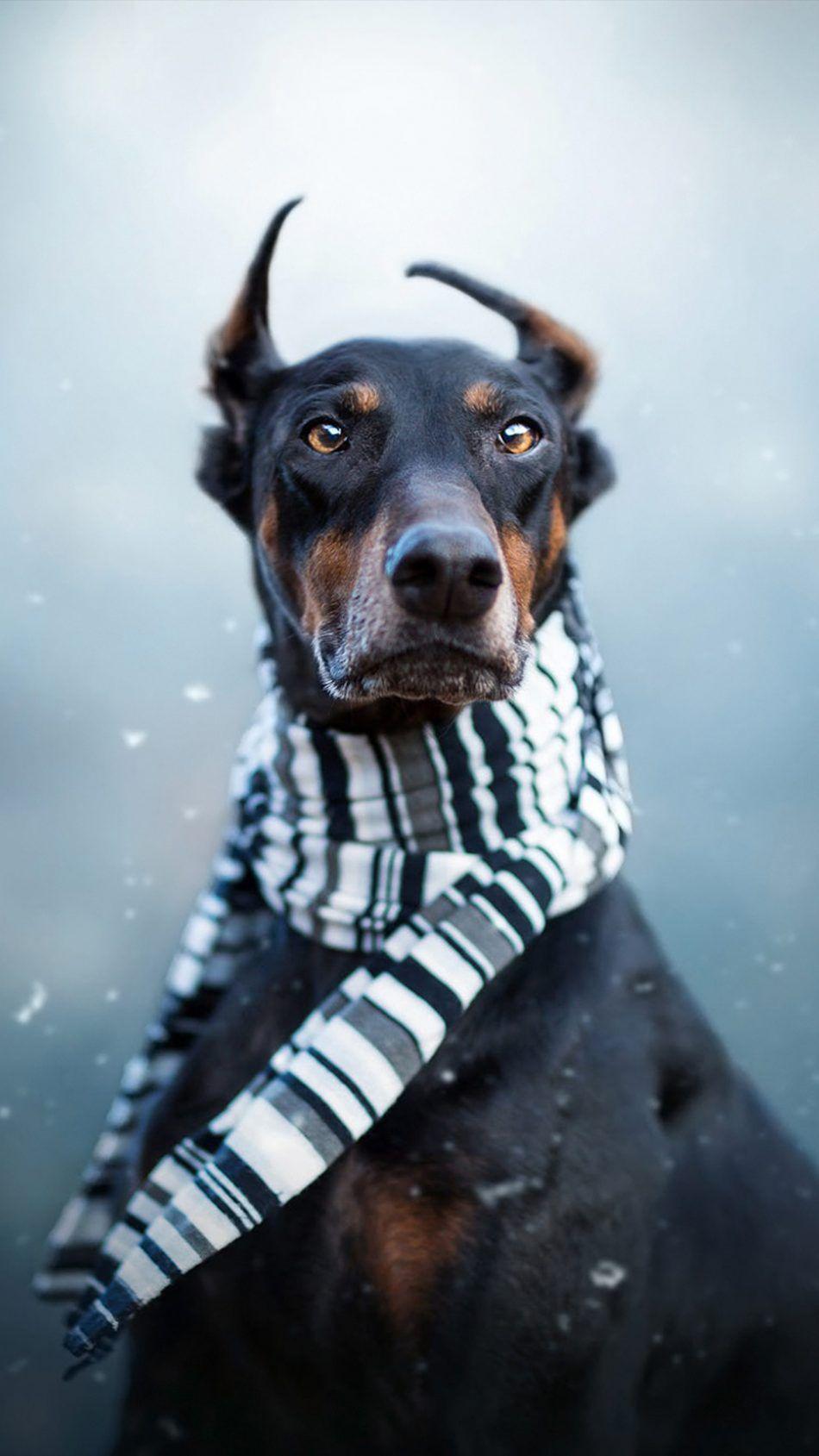 Doberman Dog Wallpaper Dobermann Hunde Dobermann Hunde
