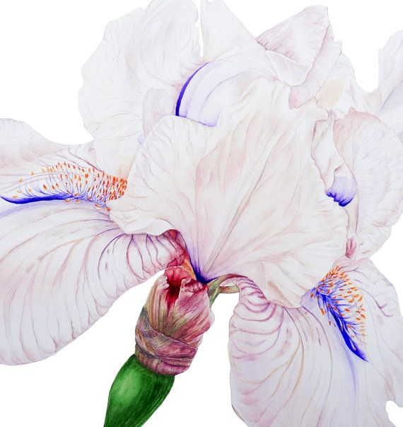 White Iris Large fine art botanical print by BlueShedStudio