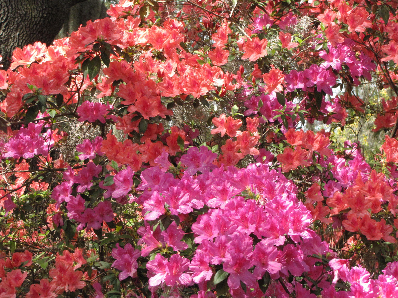 Growing up we always had Azalea bushes now I know these
