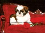 6 10 Lbs Shih Tzu Puppies For Sale Shih Tzu Breeders In Ga Shih