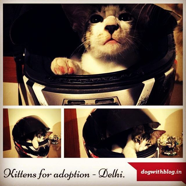 Kittens For Adoption In Delhi Ncr To Adopt Please Call 9811775290