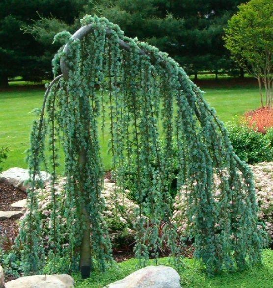 California Christmas Tree Cedrus Deodara: Weeping Cedar