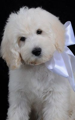 A Beautiful Ultra Cream F1 Mini Goldendoodles From