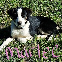 Albany, North Carolina Border Collie. Meet Marlee, a for