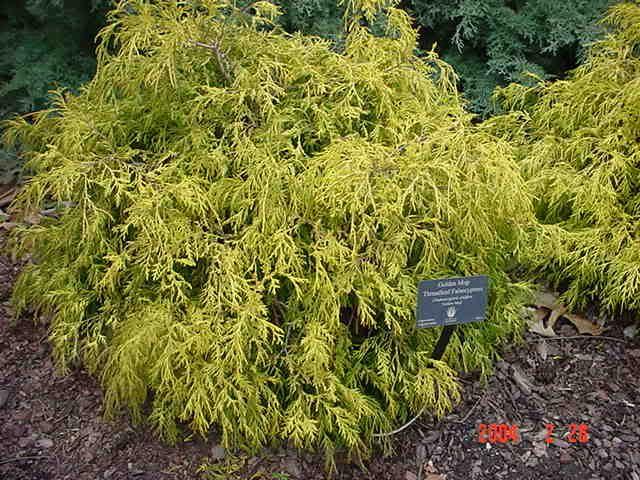 39 Filifera Golden Mop 39 Chamaecyparis Pisifera