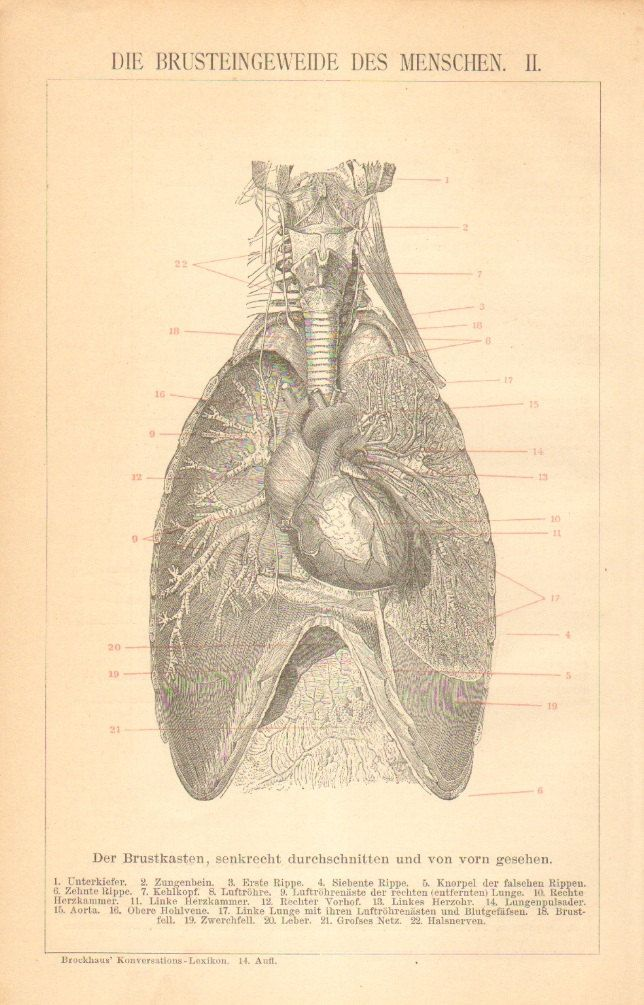 1896 Original Antique Engraving of the Chest Organs, Thoracic Cavity ...