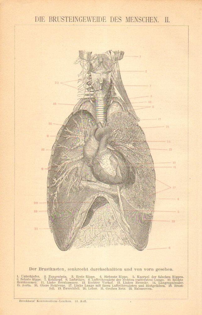 Ungewöhnlich Menschliche Lunge Anatomie Zeitgenössisch - Anatomie ...