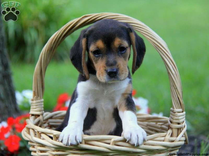 Skittles Beagle Puppy For Sale In New Holland Pa Beagle Puppy