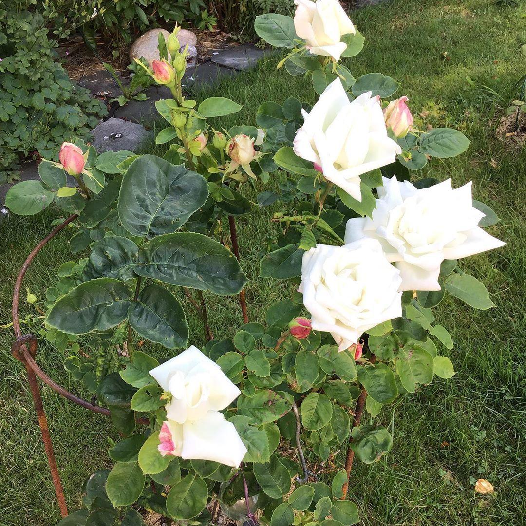 Photo of Disse rosene var min stolthet. Støtteringen er smidd av …