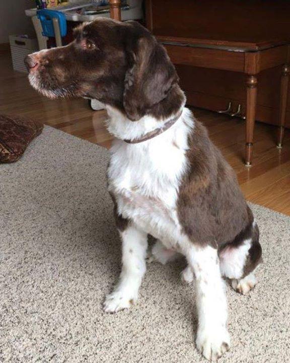 Lost Dog Bowlus English Springer Spaniel Male Date Lost