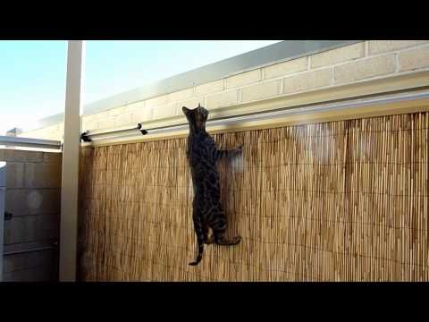 bengal kitten vs oscillot cat containment system youtube cats anything they enjoy with. Black Bedroom Furniture Sets. Home Design Ideas