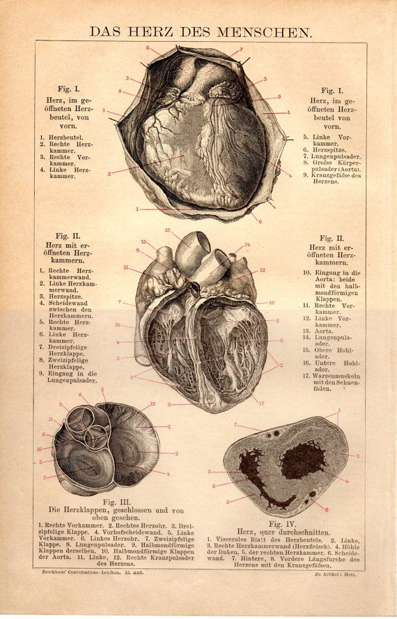 1884 Heart Anatomy Antique Print, Medical, Medicine, Anatomical ...