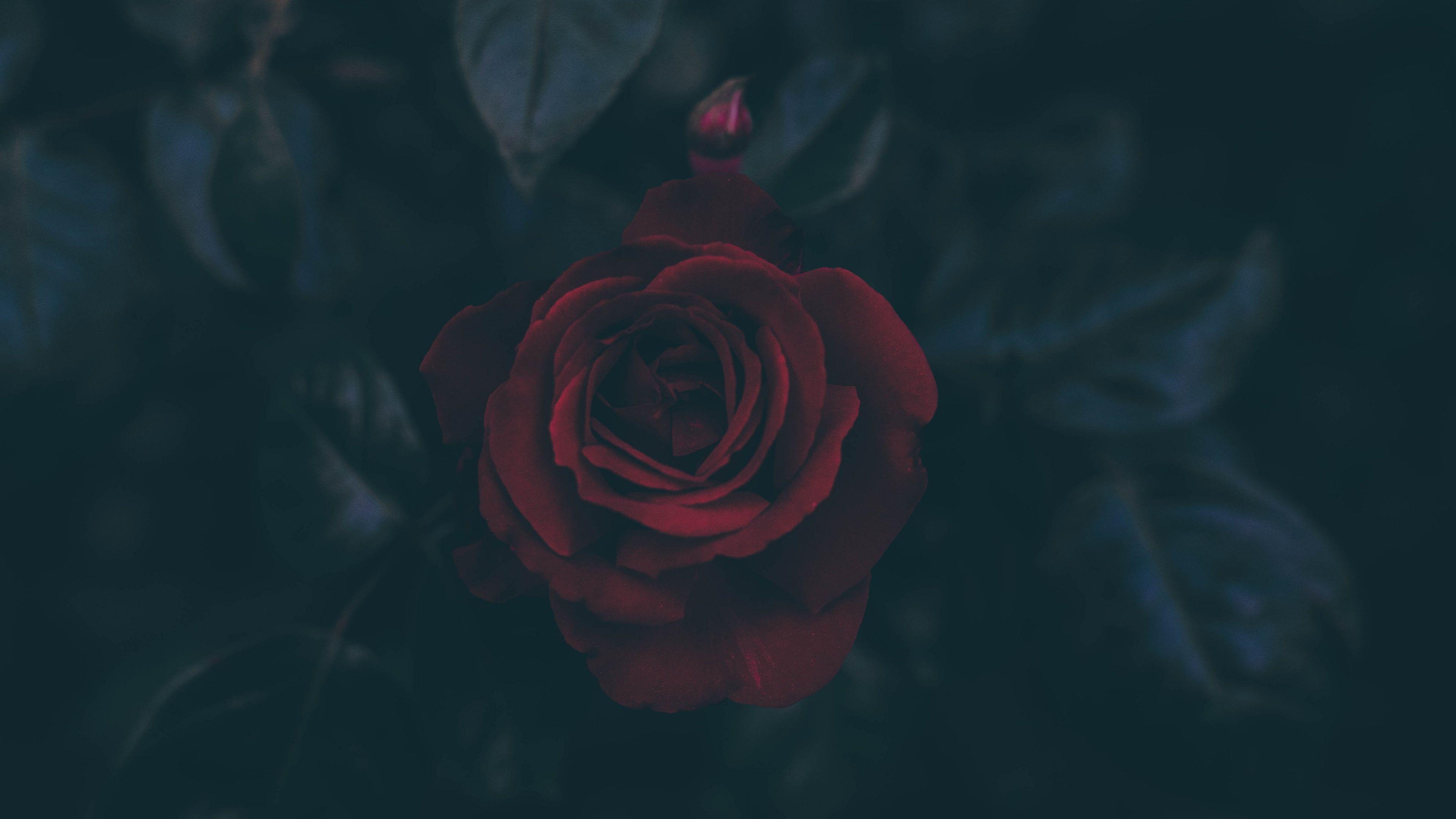 Dark Flowers Leaves Petals Red Flowers Rose 4k Wallpaper Hdwallpaper Desktop Rose Illustration Red Rose Flower Rose Wallpaper