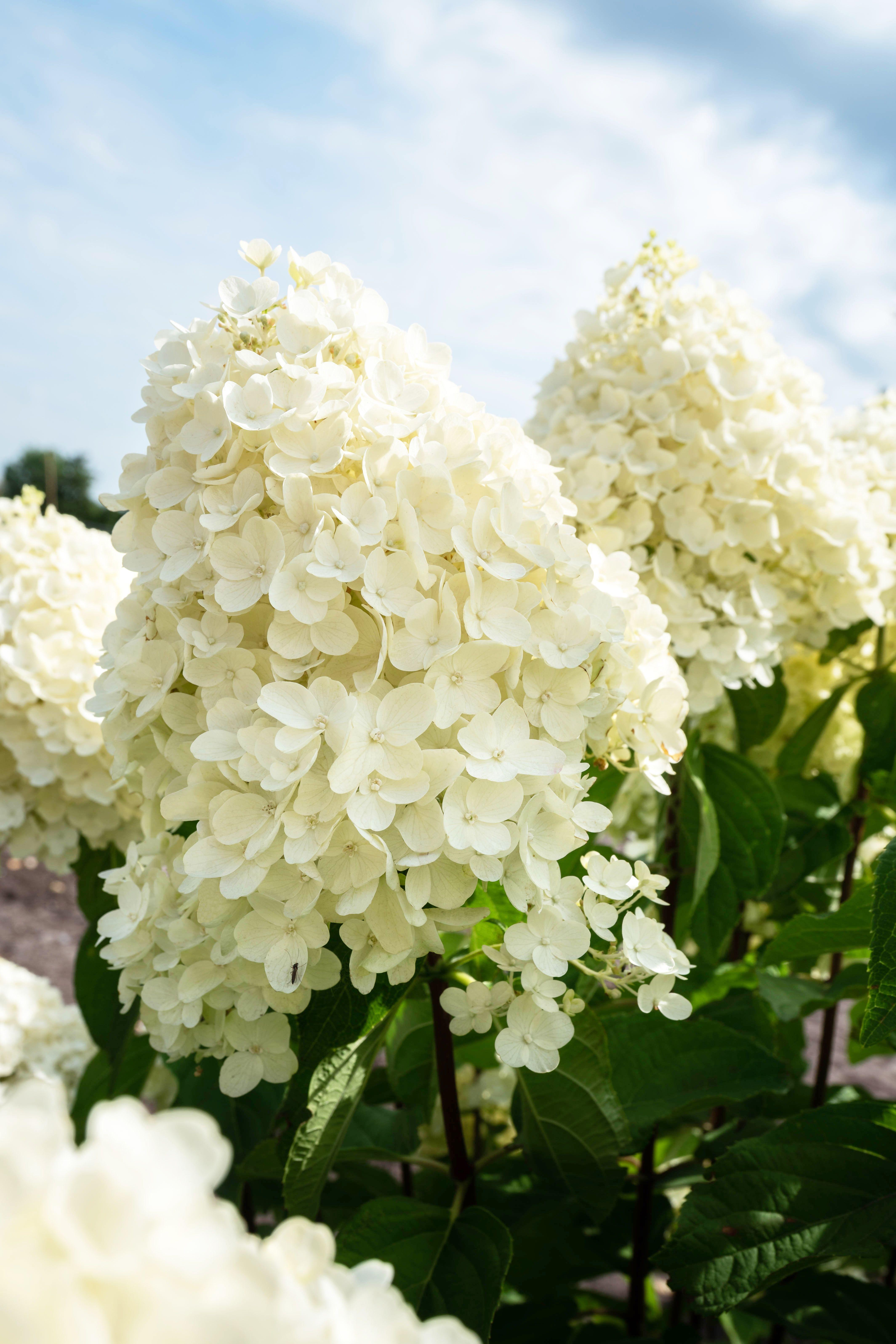 Hydrangea Living Summer Snow In 2020 Hydrangea Paniculata Snow In Summer Hydrangea