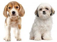 Shih Tzu Beagle Mix Puppies Beagle Mix Puppies Beagle Mix Beagle