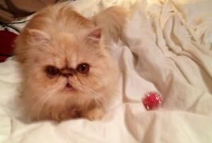 Adopt Reba On With Images Persian Cat Cats Pets