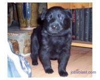 Black German Shepherd Dog For Sale Kanpur Jobsblast Com Jobs