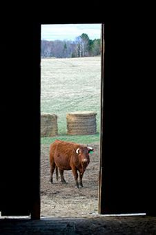 raising cattle for beginners  easy guide to rearing