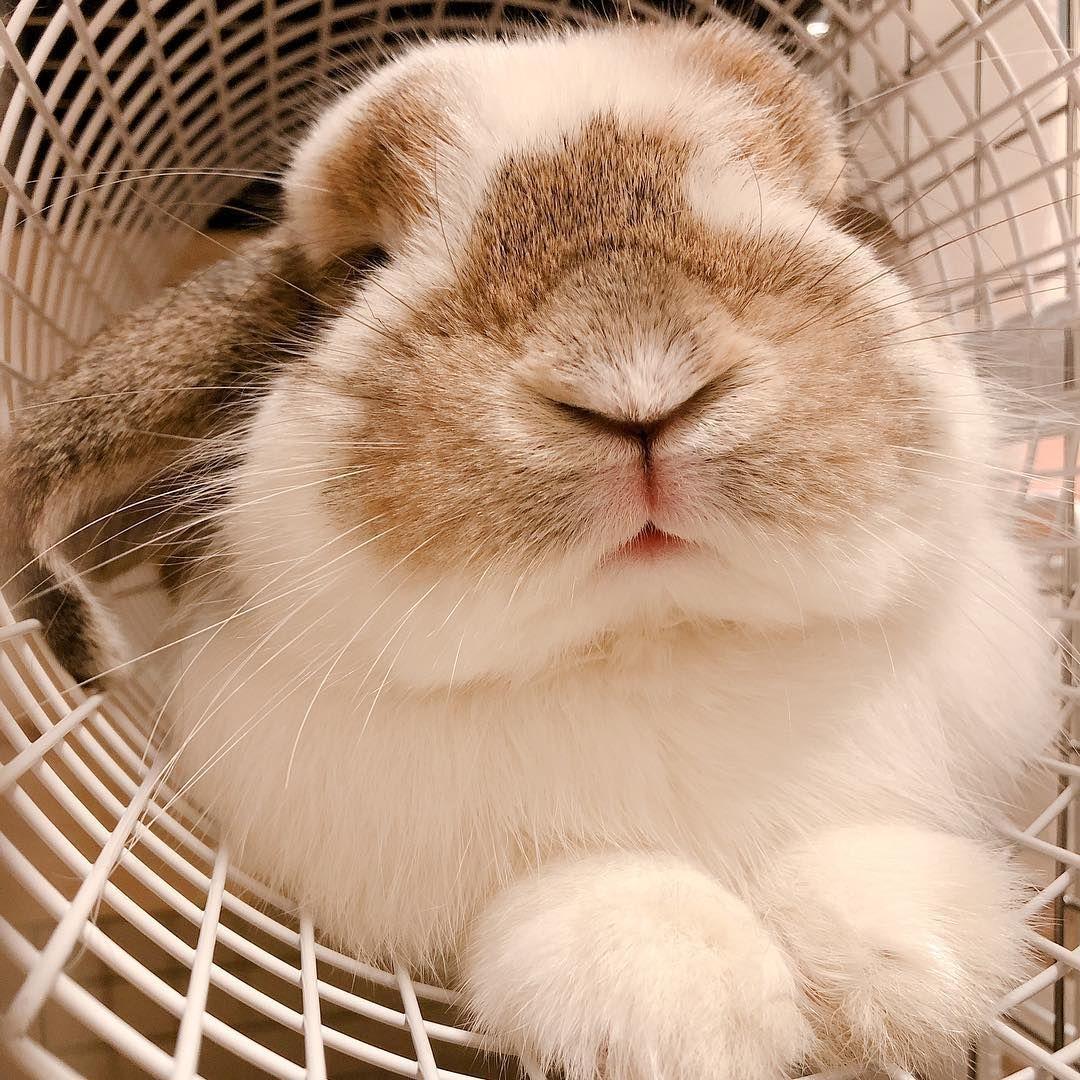 キャラメルみるく On Instagram 今日もトンネルで のび ん トンネル大好き ホーランドロップ うさぎ うさぎのいる暮らし うさぎと暮らす うさぎのいる生活 ふ Cutest Bunny Ever Cute Little Animals Cute Baby Bunnies