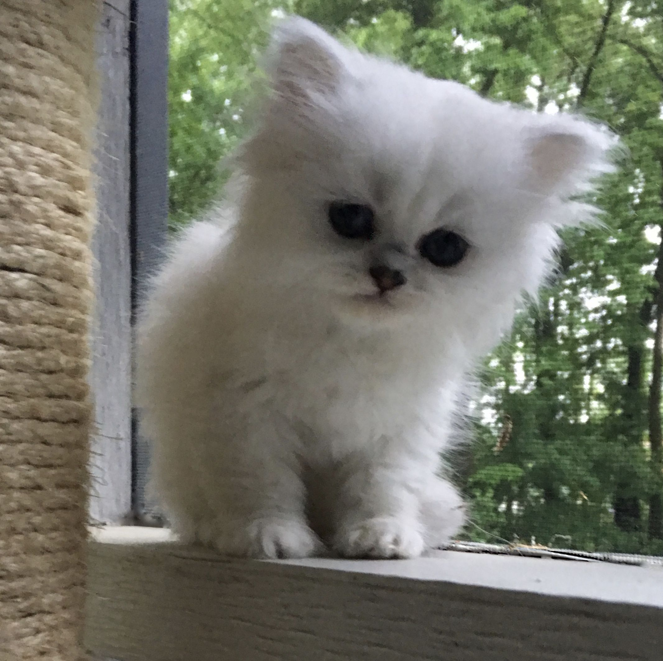 Powderpuff Persians Persian Kittens For Sale Persian Kittens Persian Kittens Baby Cats Persian Cat