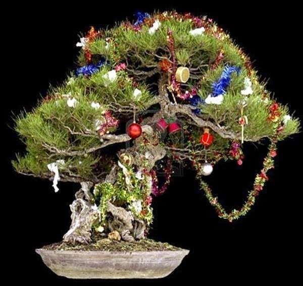 bonsai xmas tree xmas trees bonsai trees christmas trees holiday tree christmas