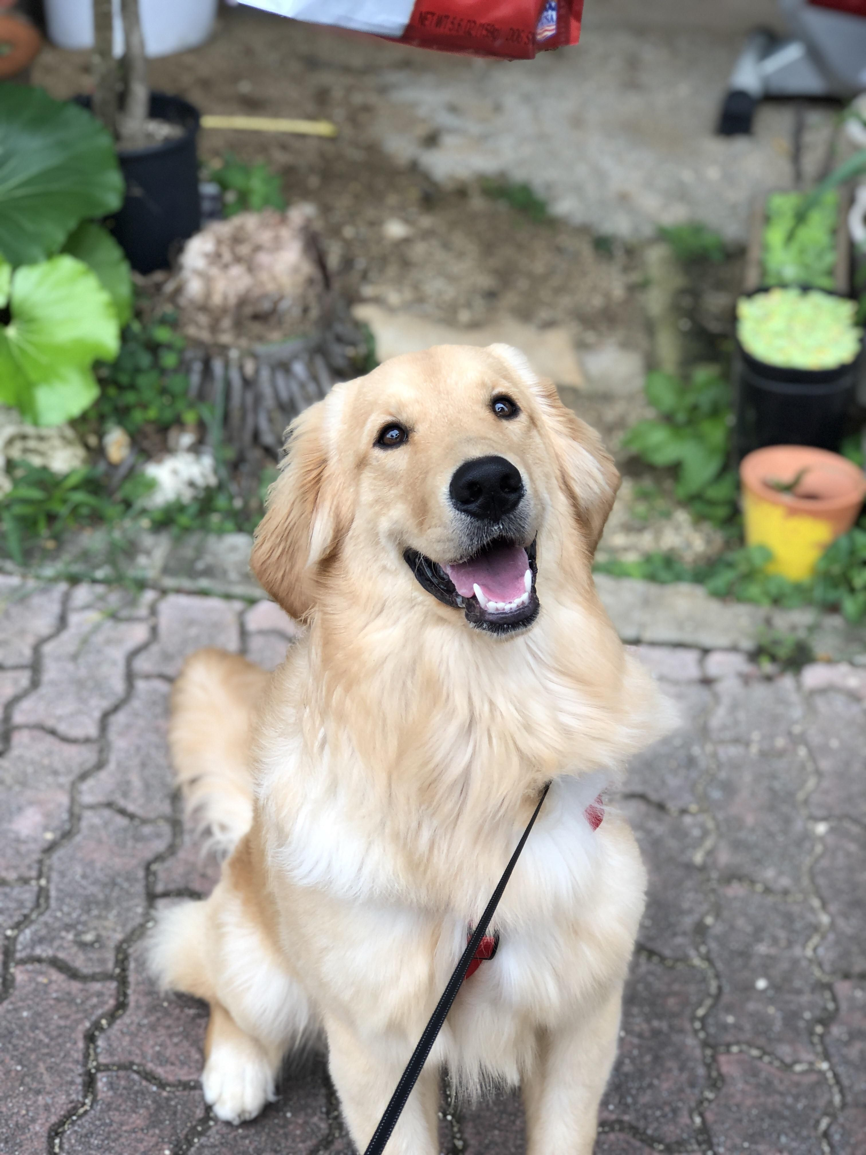 Happy National Golden Retriever Day From Cheddar Golden
