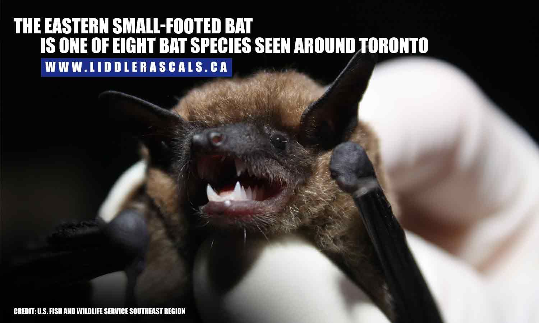 Facts About Bats Bat Facts Bat Species Bat