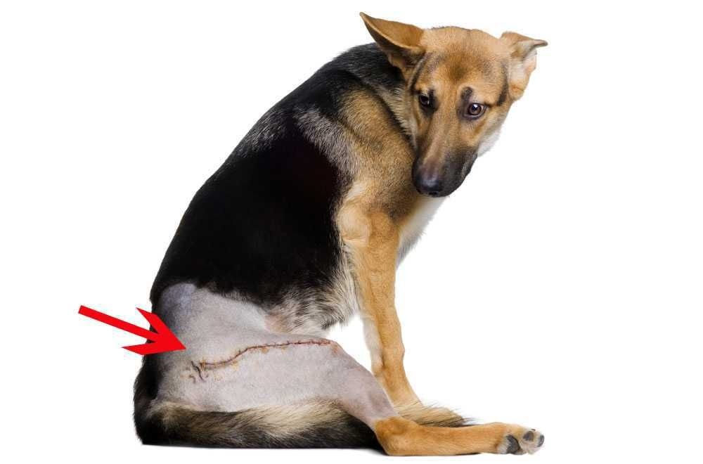 Dog Hip Dysplasia Symptoms Try This