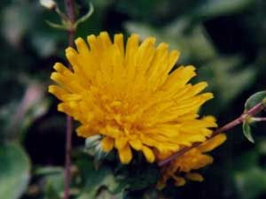 Dandelion aids in flushing the system of toxins that may contribute to inflammation. Read more about medicinal characteristics of this often-overlooked plant here! | www.holistichorse.com