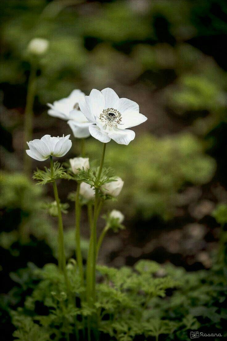flowers pinterest flowers flower woodland flowersshade gardennature photographywildflowerswhite mightylinksfo