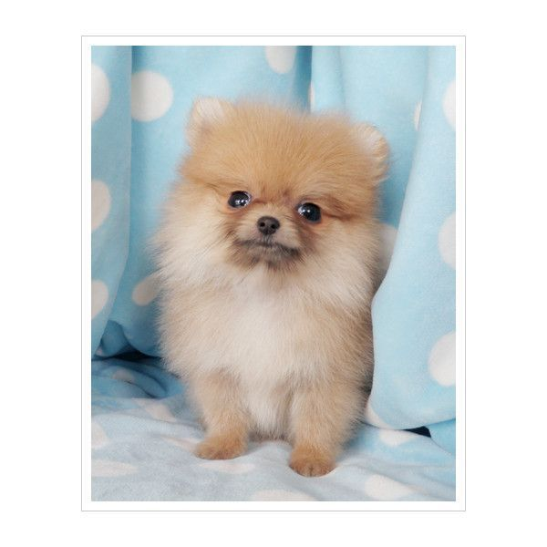 Teacup Pomeranian Puppy For Sale ❤ liked on Polyvore #teacuppomeranianpuppy Teacup Pomeranian Puppy For Sale ❤ liked on Polyvore #teacuppomeranianpuppy Teacup Pomeranian Puppy For Sale ❤ liked on Polyvore #teacuppomeranianpuppy Teacup Pomeranian Puppy For Sale ❤ liked on Polyvore #teacuppomeranianpuppy